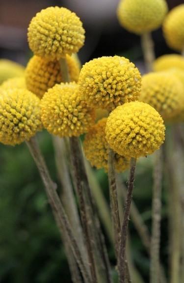 boules-jaunes-fleurs-sechees